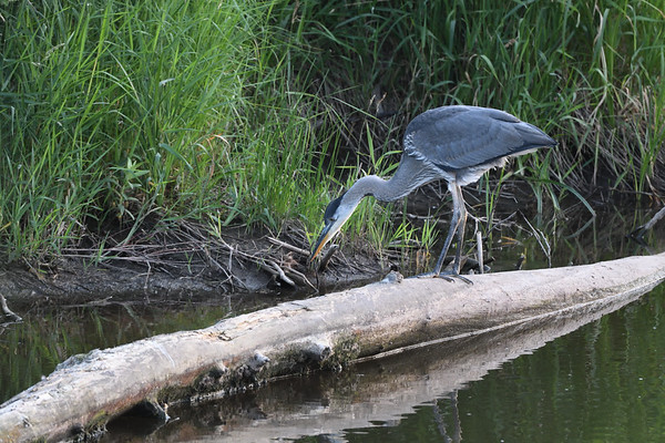 Great Blue Herons and Cranes