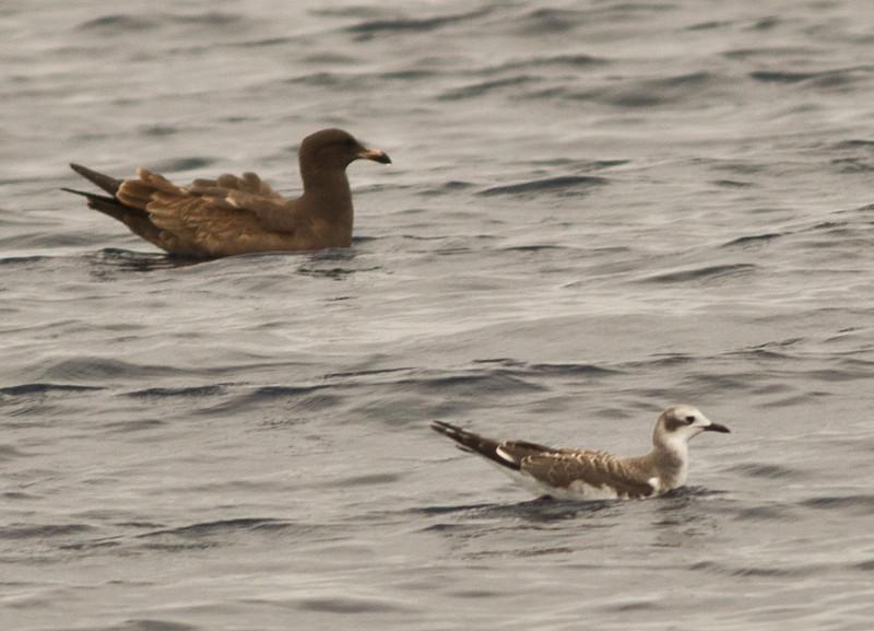 Sabine`s Gull  Orange County Waters 2013 09 21-.CR2-2.CR2