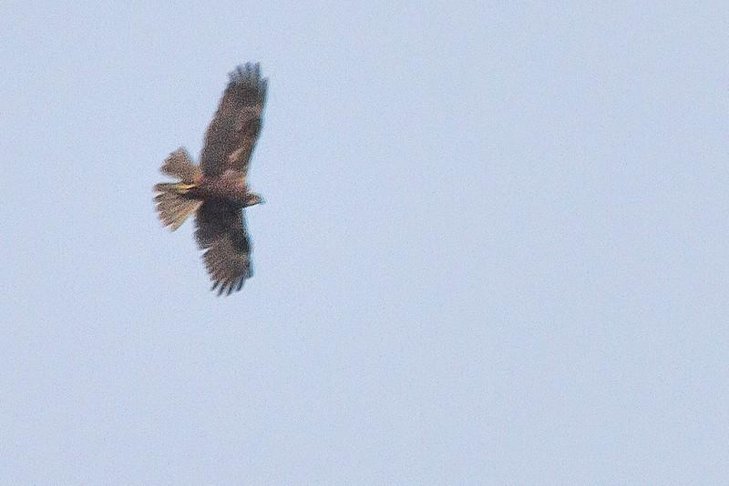 Marsh Harrier (Rohrweihe)