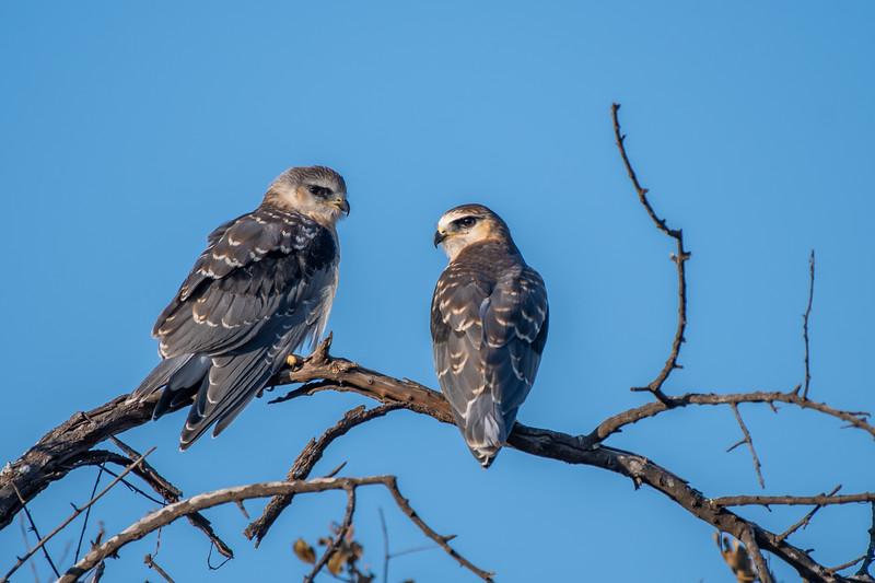 Pair Of Black-winged Kites