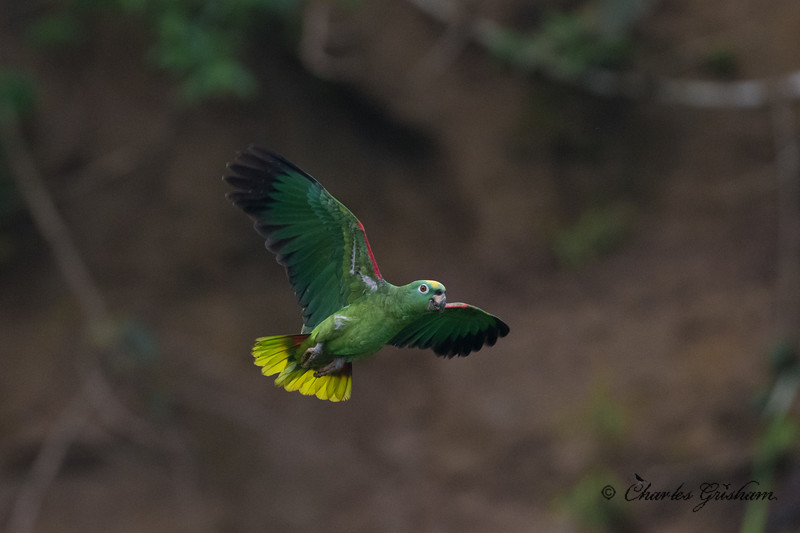 parrot amazon ecuador february 2019.jpg