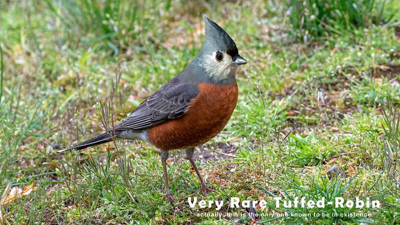 Tuffed-Robbin Bird.jpg