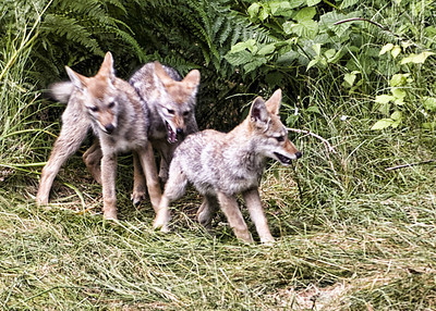 Coyotes in the Front Yard