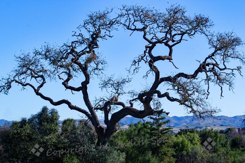 Tree at Los Alamos