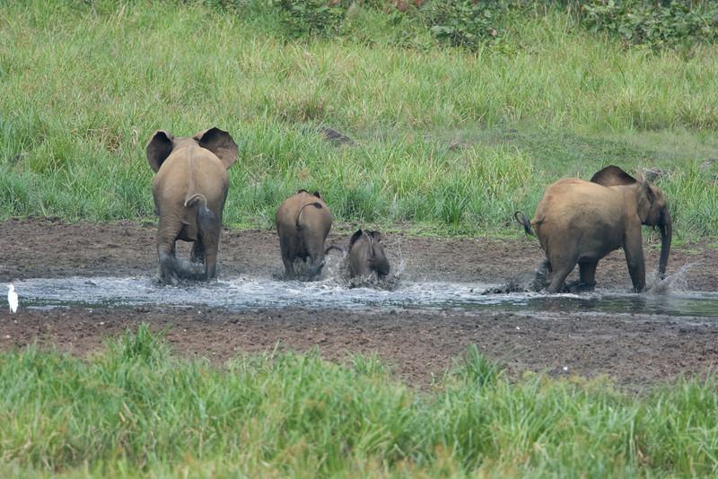 Elephant family splashing at Langoue Bai.