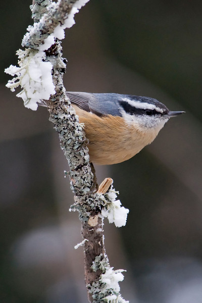 Nuthatch - Red-breasted - female - Dunning Lake, MN - 01