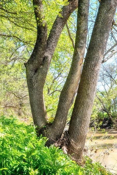 Ash Tree, Leon River, Texas