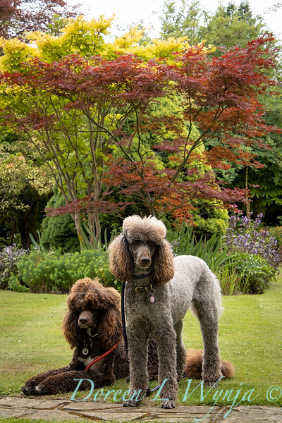 Jacky O'Leary's chocolate poodles in the garden_2893.jpg