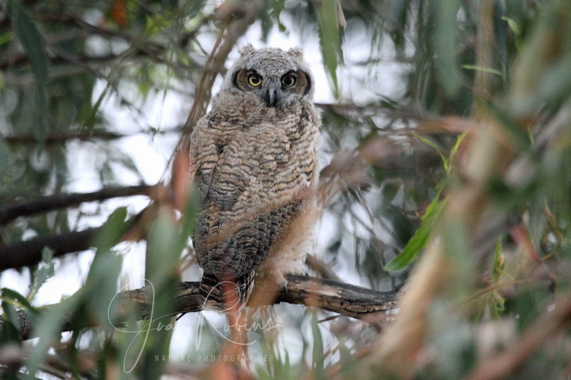 2012-05-14_Owl in the parking lot_IMG_8279.JPG