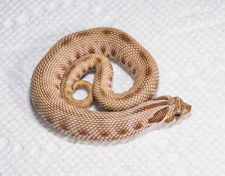 HG21_Anaconda Het Albino, $150