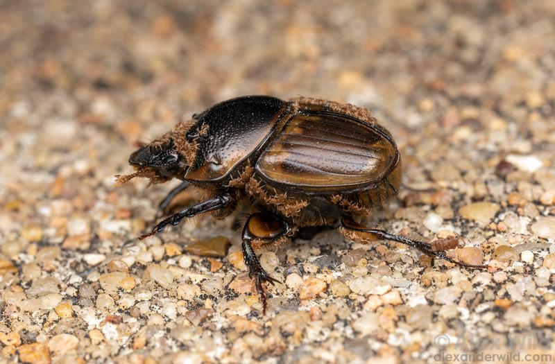 Mites on Digitonthophagus gazella dung beetle