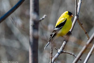 Birds of Quebec