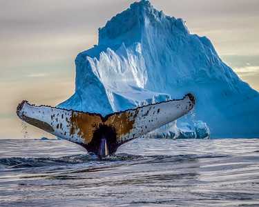 Greenland: Whales and Sled Dogs