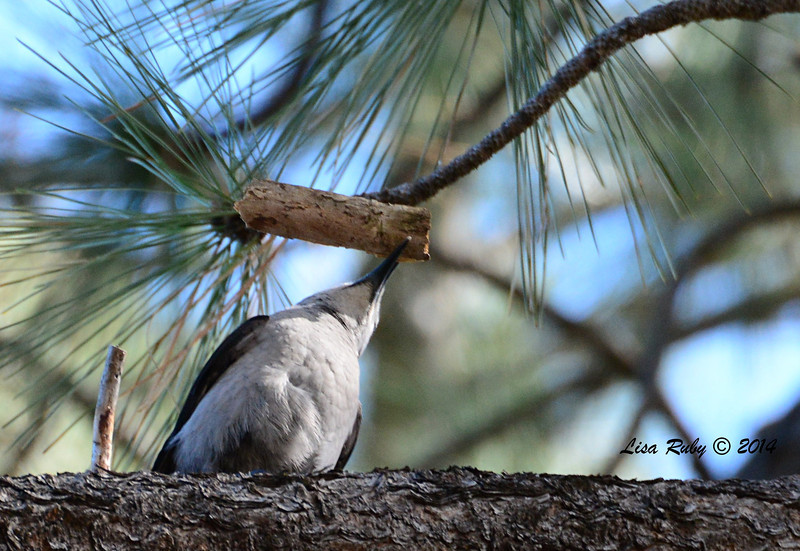 Clark's Nutcracker - 2/23/14 - Mount Laguna Trail 7