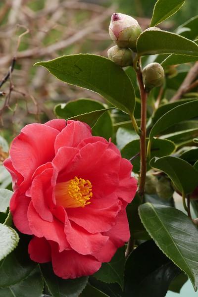 20170803_0914_6641 camellia