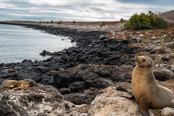 Galápagos sea lion