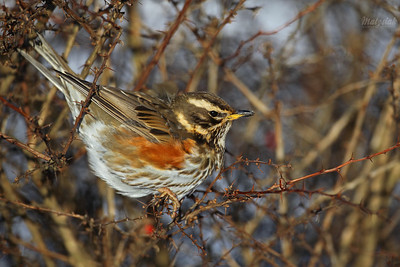 Drozdowate / Thrushes