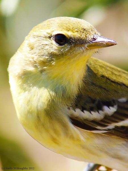 Blackpoll warbler juvenile