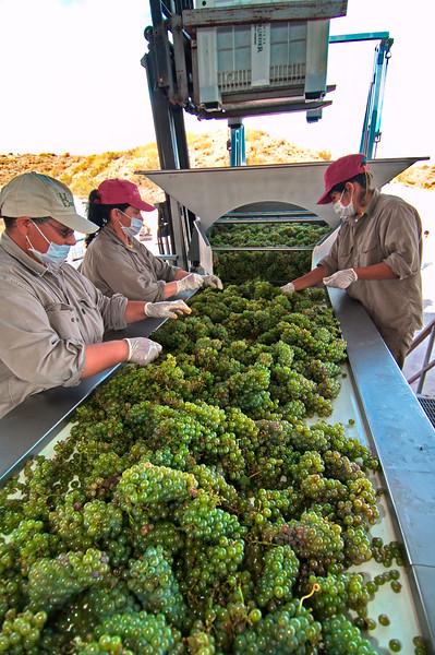 Selección de uva blanca