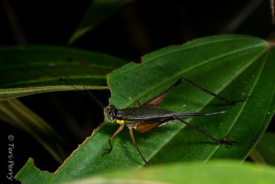 INSECT - cricket-2652
