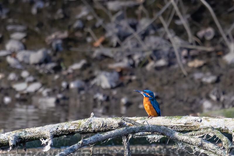 Kingfisher in the Sun