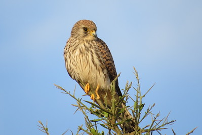 Falcons (Falconidae)