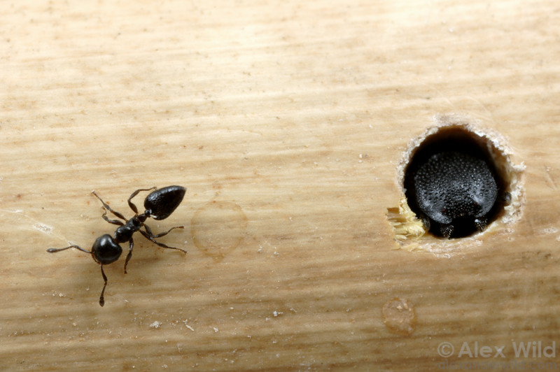 In a laboratory colony, a Cephalotes rohweri turtle ant soldier demonstrates how she uses her massive head to block the nest entrance.  She is essentially a living door, and will not admit any ants other then her own nestmate.  The second ant here is a Crematogaster acrobat ant, perhaps the turtle ants' biggest competitors for living space.  Tucson, Arizona, USA