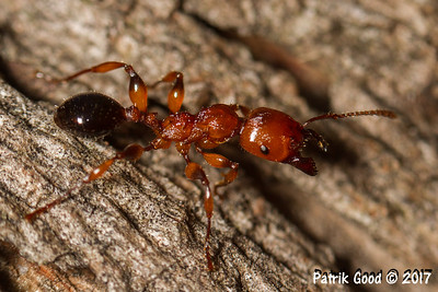 Muscleman Tree-ant