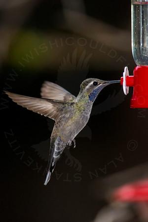 Hummingbird, Blue-Throated