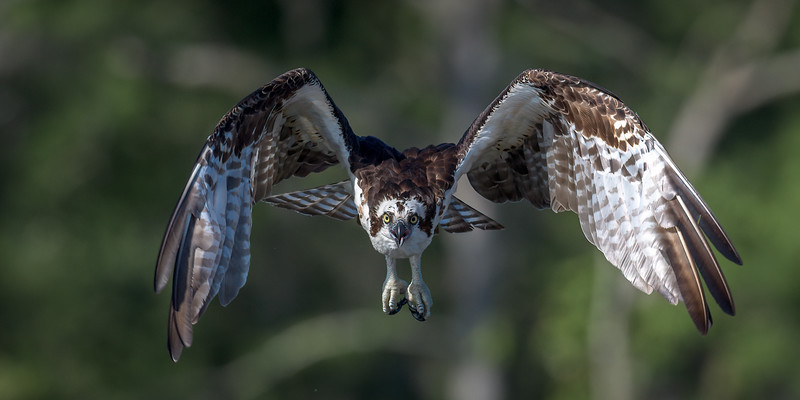 2021_KSMetz_Florida_Osprey Trip_April06_NIKON D5_0671-Edit.jpg