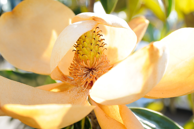 The heat is beginning to rise and the delicate magnolia petals are beginning to burn.  That is the cycle of life.