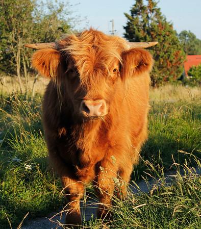 Höglandsko (Highland Cattle)