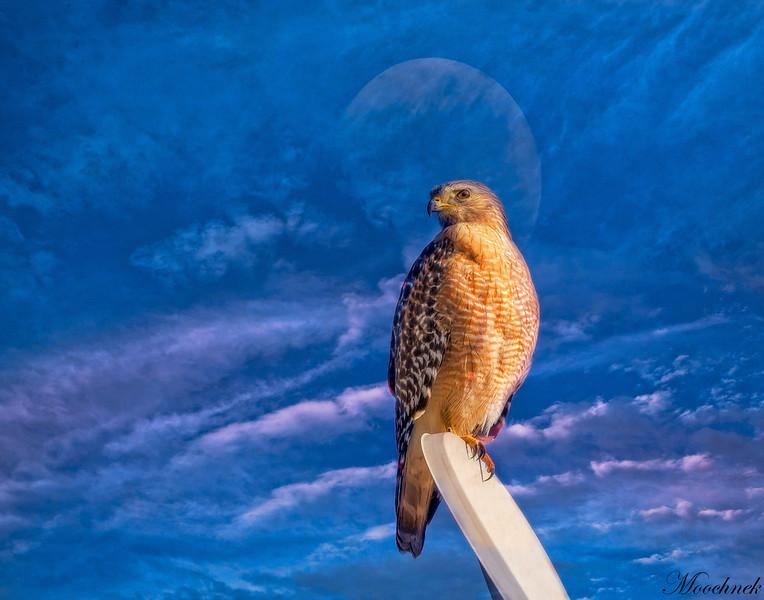 hawk-(86-Edit.jpg
