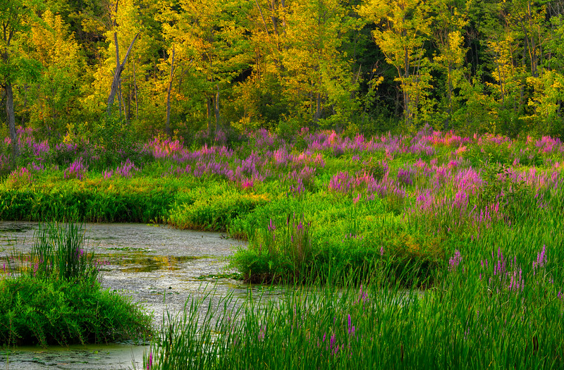 Constance Creek-loosestrife_July 22-2011_01.jpg