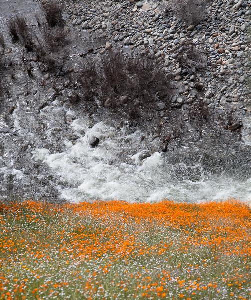 Poppy bloom / River Bend