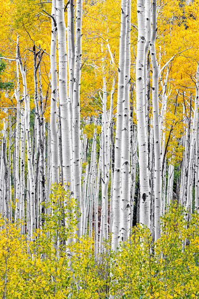Aspens, Study 4, Colorado