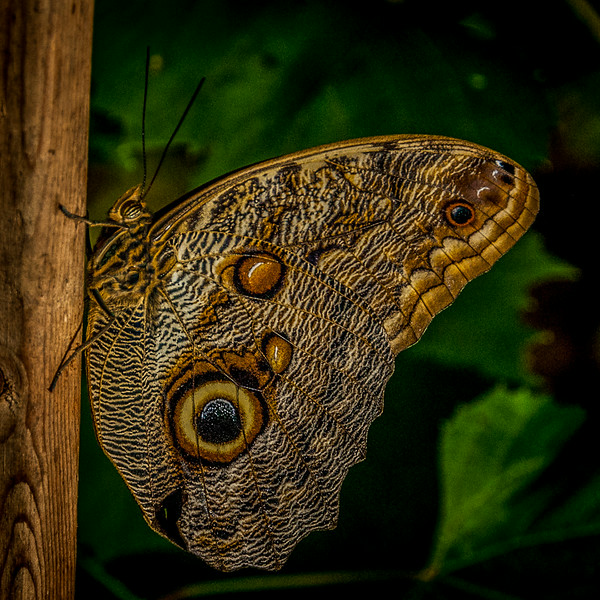 Lepidoptera 3, Newfoundland Insectarium - 8 August 2012 - 10x10, $60
