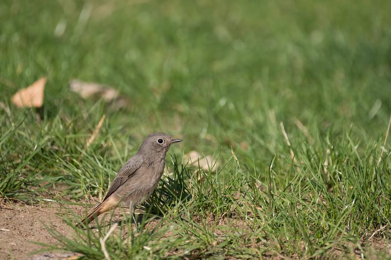 kopciuszek | black redstart | phoenicurus ochruros