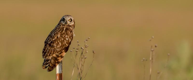 Short-earned Owl (Asio flammeus)