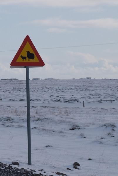 Varúð - rollur á ferð