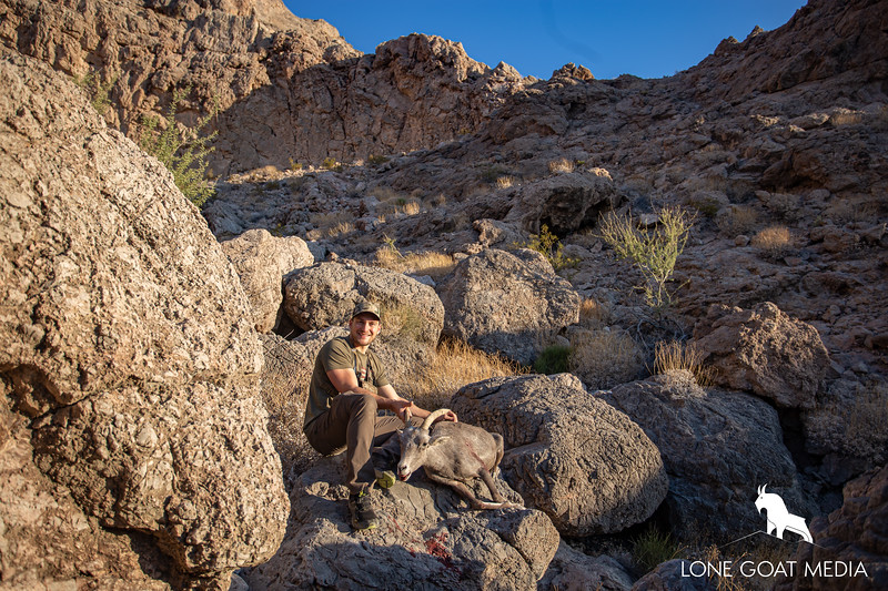 2019 Nevada Desert bighorn ewe sheep
