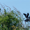 Anhinga landing at nest with mate and chicks, wood stork looking on