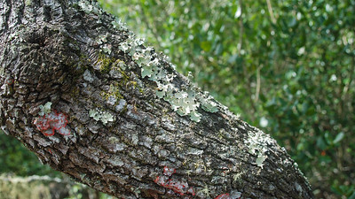 sand live oak trunk
