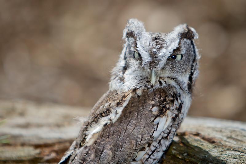 Eastern Screech Owl (Gray) 2