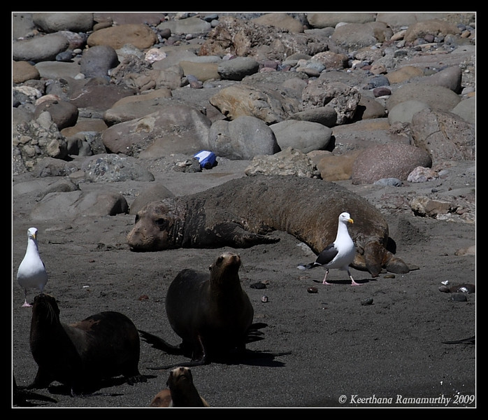 Elephant Seal, Islas Coronados, Mexico, March 2009