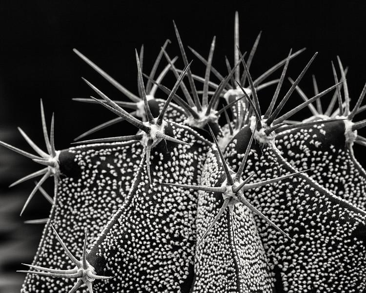 astrophytum-ornatum-02.jpg