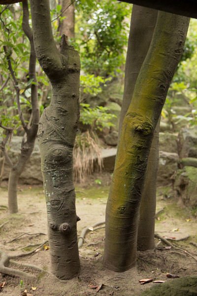 The bark of these trees bears marks that resemble the ornamental scars that are applied in certain parts of Arrica.