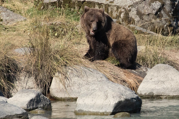 Brown Bear Fishing in Chilkoot River