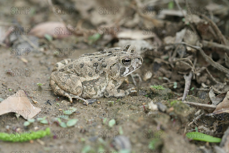 Fowler's Toad (Bufo fowleri); native to the Eastern U.S.