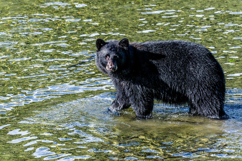 DSC 9554 black bear cub.jpg